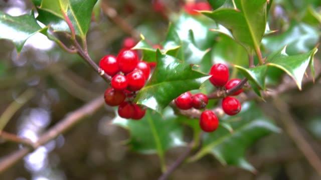 vídeos de stock e filmes b-roll de christmas holly tree branches - baga