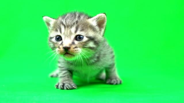 クロマ キー材料子猫 - 子猫点の映像素材/bロール