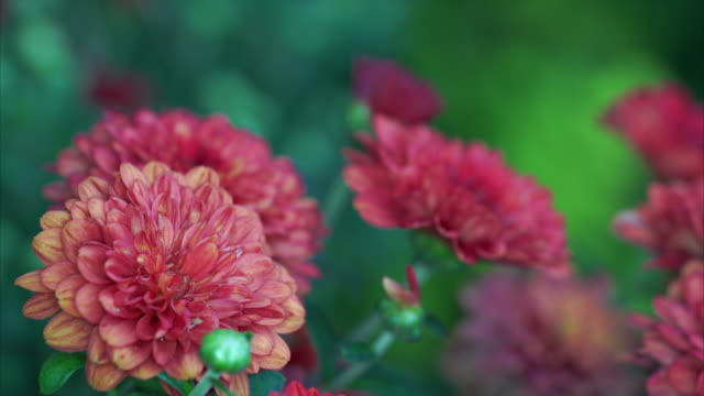 Chrysanthemum Close Up Macro with high depth of field video