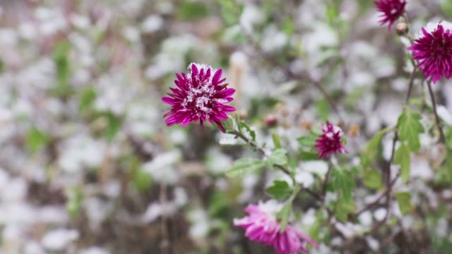 Chrysanthemum flower and dry herbs with the falling snow and snowflakes with winter wind video