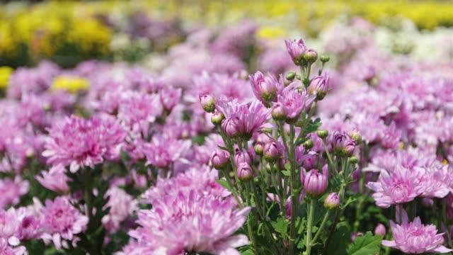 Chrysanthemum flower video