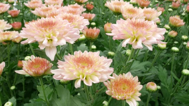 Chrysanthemums flower, , sometimes called mums or chrysanths, They are native to Asia and northeastern Europe. Most species originate from East Asia and the center of diversity is in China. video