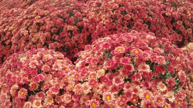 Chrysanthemums on the flowerbed