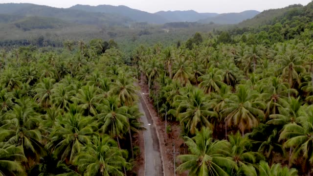 Chumphon Thailand, road with palm trees at the province of Chumpon, huge palm coconut trees Chumphon Thailand, road with palm trees at the province of Chumpon, huge palm coconut trees Thailand coconut palm tree stock videos & royalty-free footage