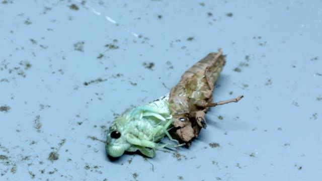 Cicada Emerging Cicada emerges from larva skin larva stock videos & royalty-free footage