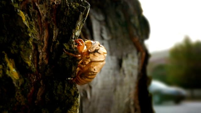 A Cicada shell resting on the side of a tree in suburban community video