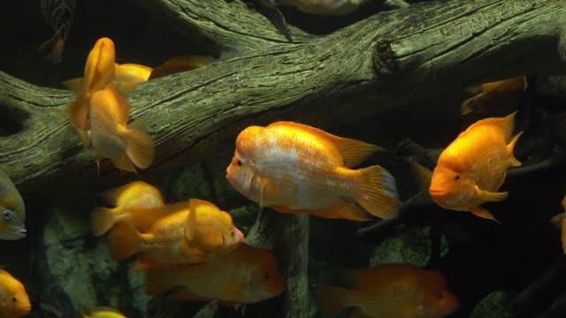 cichlazoma labiatum. große gelbe fische im aquarium - ichthyologie stock-videos und b-roll-filmmaterial