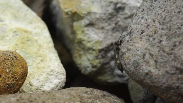 vídeos de stock e filmes b-roll de cicindela sachalinensis - kuril islands - arquipélago