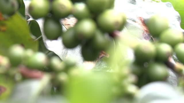 kirschkaffee auf der pflanze - rohe kaffeebohne stock-videos und b-roll-filmmaterial