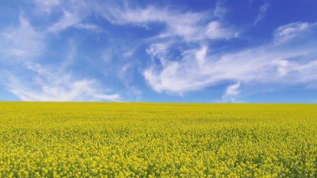 cinemagrafo di un paesaggio con un campo giallo di colza sotto un cielo blu - canola video stock e b–roll
