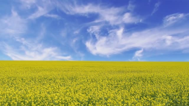 cinemagraph of a landscape with a yellow rapeseed field under a blue sky - canola video stock e b–roll