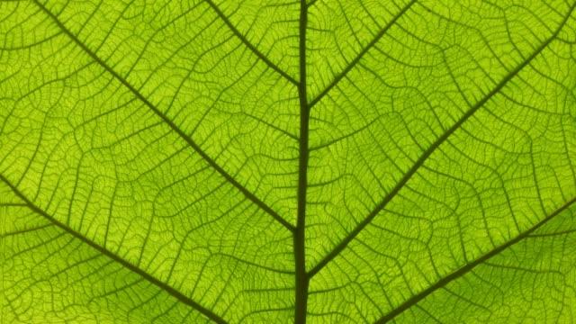 vidéos et rushes de cinémagraphe des veines vertes de feuille et du mouvement de cellules - nervure