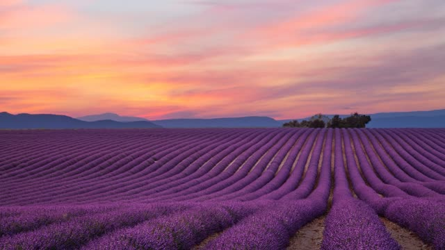 Cinemagraph of purple lavender field at sunset