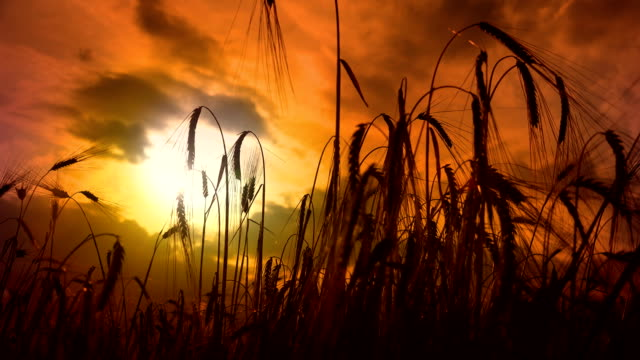 Cinematic detail of wheat ear on sunset Cinematic detail of wheat ear on sunset rice paddy stock videos & royalty-free footage