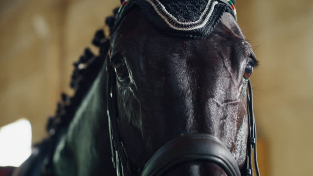 cinematic slow motion extra close up  of young bay horse dressed in a professional apparel before practising exercises for competition of horse racing and dressage on a riding hall - imbracatura video stock e b–roll