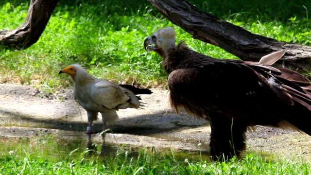 Cinereous Vulture and Egyptian Vulture Cinereous Vulture and Egyptian Vulture under the tree scavenging stock videos & royalty-free footage