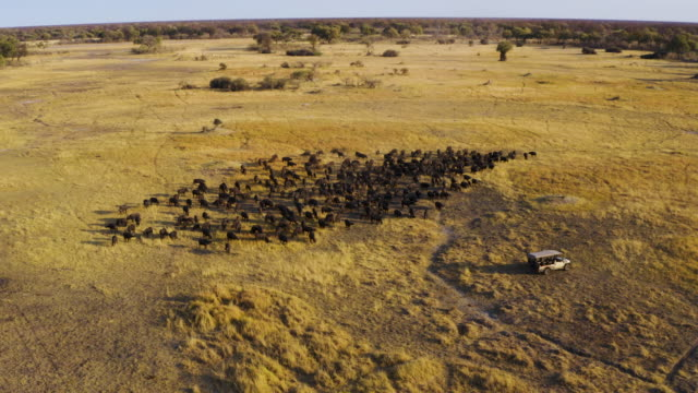 Circular aerial view of tourists in a 4x4 off-road safari vehicle watching a large herd of Cape buffalo grazing in the Okavango Delta, Botswana Circular aerial view of tourists in a 4x4 off-road safari vehicle watching a large herd of Cape buffalo grazing in the Okavango Delta, Botswana botswana stock videos & royalty-free footage