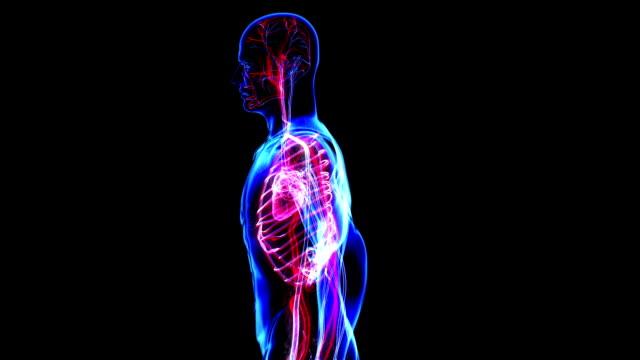 vídeos de stock e filmes b-roll de sistema circulatório - artéria