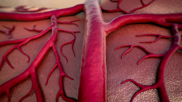 circulatory system Capillary, Cardio-vascular, human vein blood vessel stock videos & royalty-free footage