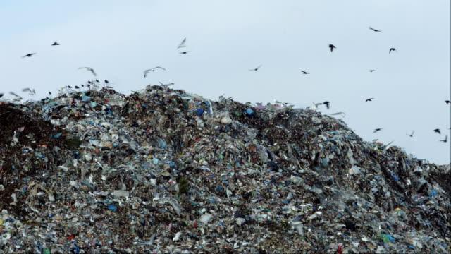 Ciry dump birds video