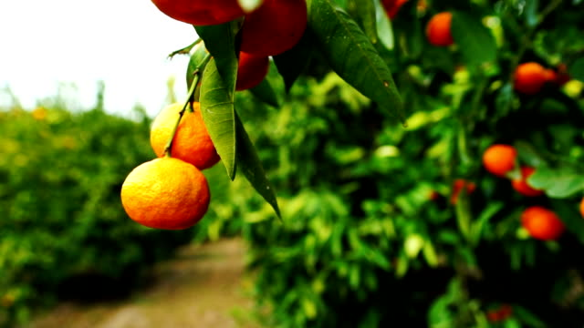 Citrus Fruit Orchard Tangerines Food Harvest California Agriculture video