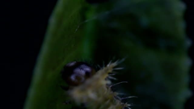 Citrus swallowtail butterflies Citrus swallowtail butterflies larva stock videos & royalty-free footage
