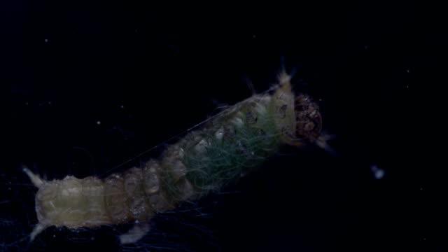 stockvideo's en b-roll-footage met citrus papilionidae - rups