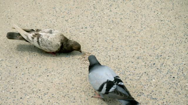 都市の鳥。パーク・グエルの歩道に散らばったヒマワリの種をつつく2羽の野生の鳩。バルセロナ。スペイン。4k - 動物の身体各部点の映像素材/bロール