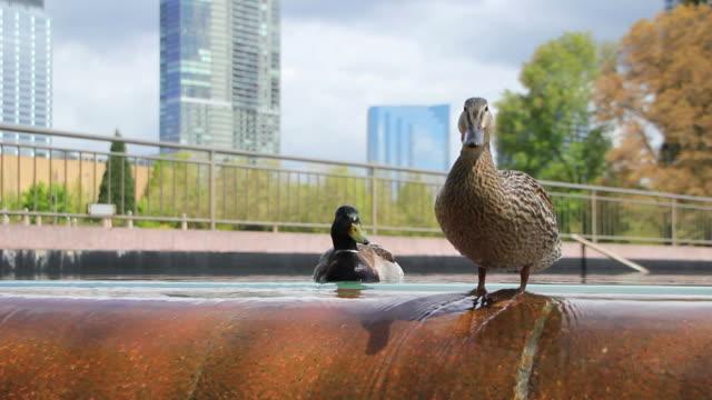City Fountain Ducks video
