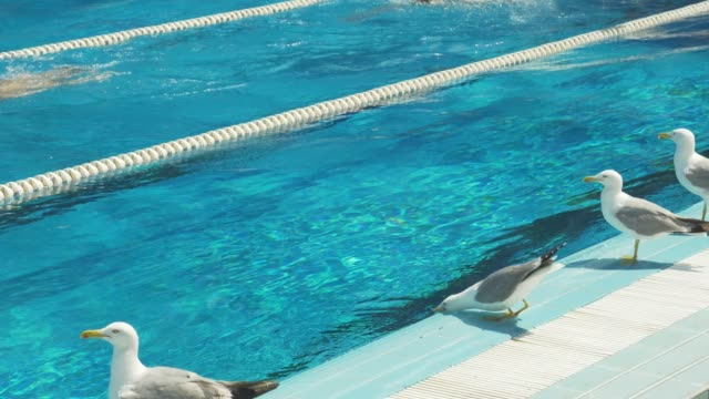 City pool in the open air. Albatrosses drink fresh water from the pool. Background of transparent blue water of pool