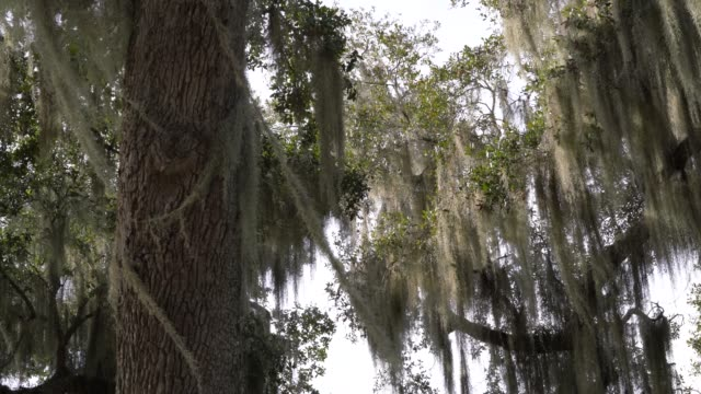 classic southern swamp Quercus Virginiana oak tree with moss swaying in wind