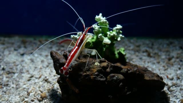 Cleaner shrimp Cleaner shrimp cleaner shrimp stock videos & royalty-free footage