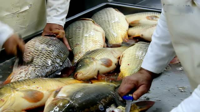 czyszczenie ryby koi - spoiler filmów i materiałów b-roll