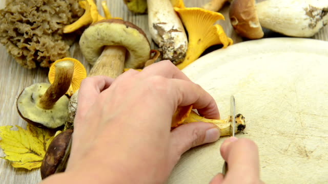 cleaning Golden chanterelle mushroom so on table. in background other mushrooms like penny bun. video