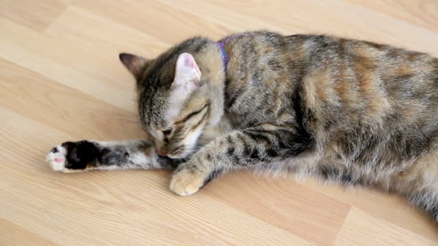 Cleaning Tabby Cat Licking Her Paw tabby cat stock videos & royalty-free footage