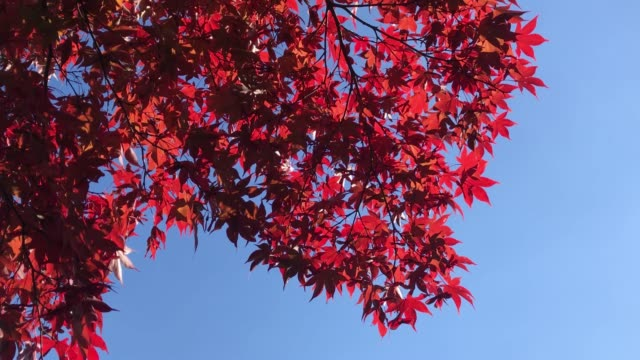 4K Clear autumn red maple background and copy space The red maple follow the wind in sunny weather maple leaf videos stock videos & royalty-free footage