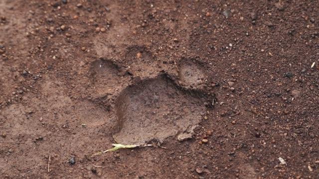 ケニアのライキピアにあるソシアンロッジ内の泥だらけの地面にあるライオンの明確な足跡。-ミディアムショット - ネコ科点の映像素材/bロール