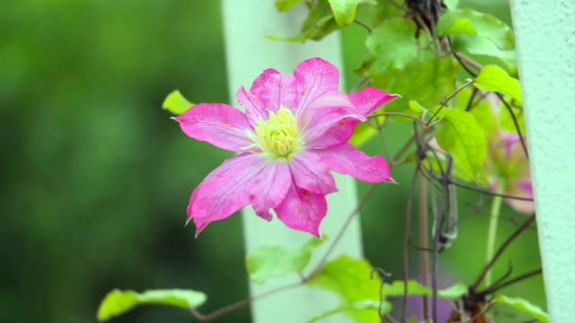 clematis. Beautiful purple flowers of clematis over green background. Purple clematis flowers.clematis flowers video