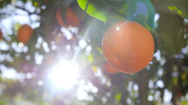 clementine garden trees - gospodarstwo ekologiczne filmów i materiałów b-roll