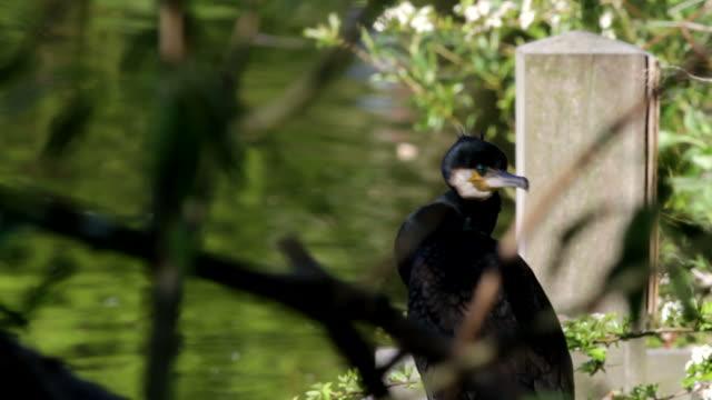 HD video cormorant Phalacrocorax carbo close up no fishing video
