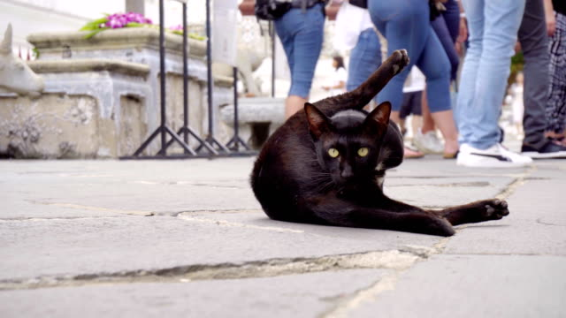 3 Clips - Black Cat Grooming in Urban Environment - Gimbal Footage