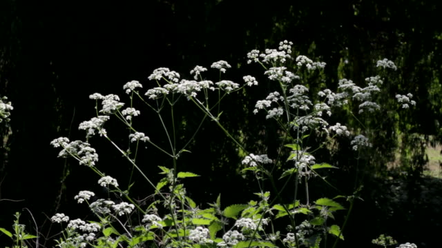 HD video clips of cow parsley Anthriscus sylvestris video