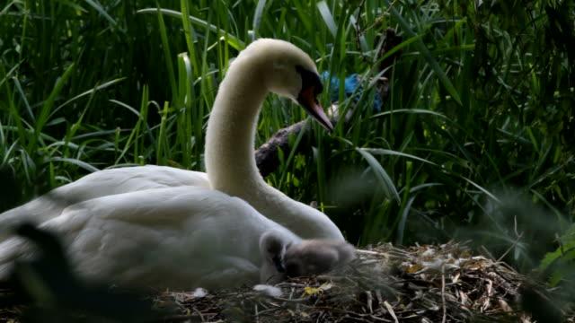 HD video female mute swan Cygnus olor with cygnet video