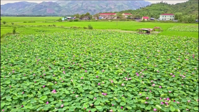 Close Aerial View of Lotus Flowers Field against Hills