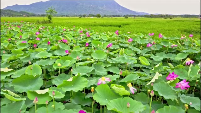 Close Aerial View Wind Shakes Lotus Flowers on Field
