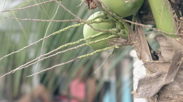 close coconut palm tree with fruits against blurred woman