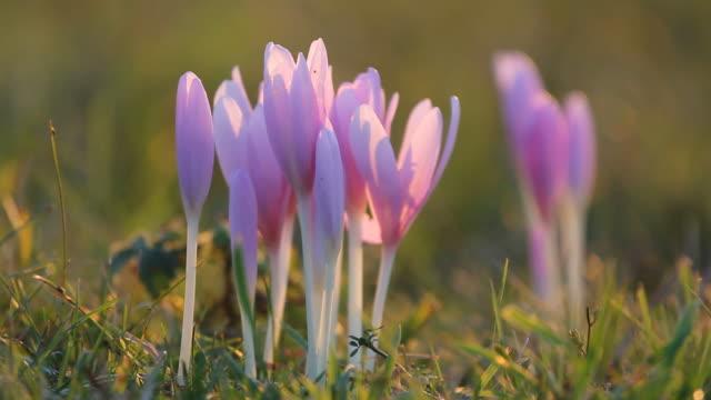 vidéos et rushes de détail de fleurs crocus fleurissant en automne sur la prairie de montagne à proximité - crocus