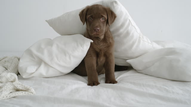 SLOW MOTION: Close shot of cute brown labrador puppy sitting in pile of pillows on bed in room in daytime