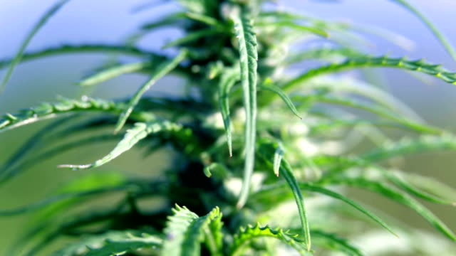 HD: Close shot of industrial hemp leafs and fruits HD1920x1080: High quality produced HD Stock Footage Clip of Industrial cannabis field and single hemp plants shots  from different angles while shaking in the wind on a sunny day near the roadside. hashish stock videos & royalty-free footage