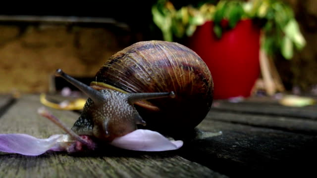 Close up a Brown Snail Eating Flower
